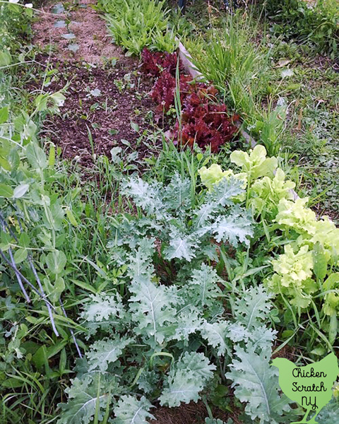 kale, three types of lettuce and peas in the spring garden