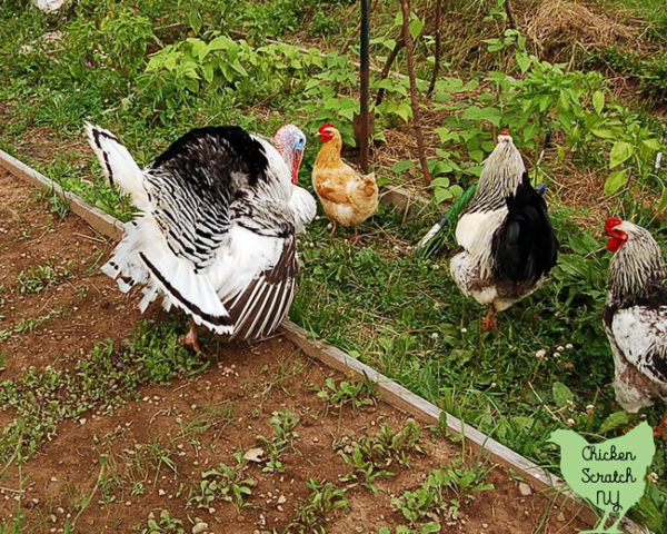 royal palm turkey, buff orpington hen and two brahma roosters standing in a vegetable garden