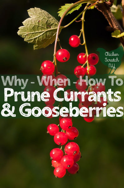 pruning gooseberry currant fruit bushes jpg 398x600 currants crossword