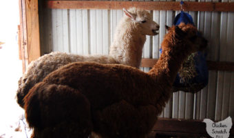 two alpacas eating hay