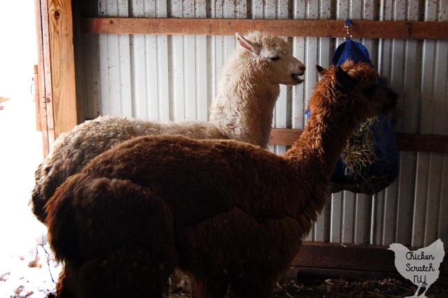 two alpacas eating hay