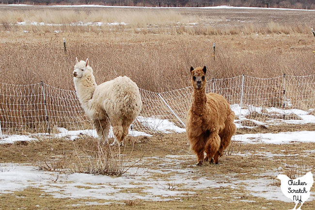 brown and white alpacas on winter pasture