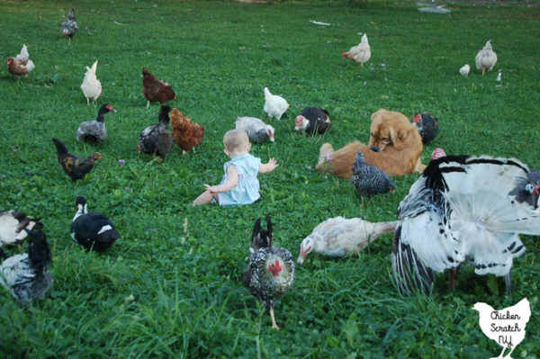 mixed flock of chickens, ducks, guinea hens and a turkey in a field with a little girl and golden retriever