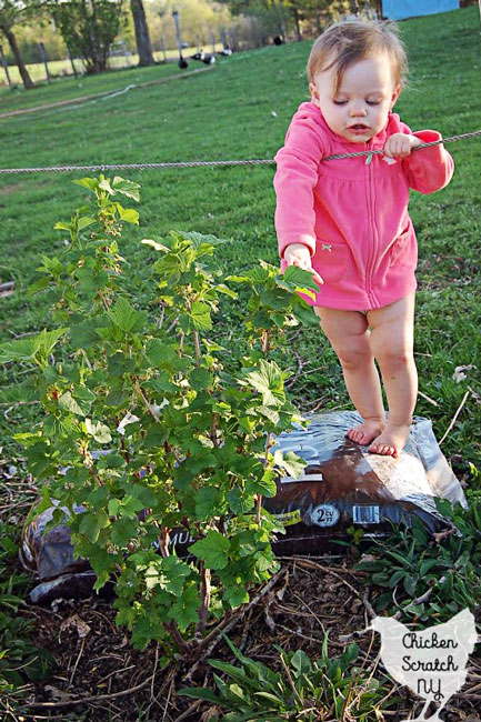 little girl next to red currant bush