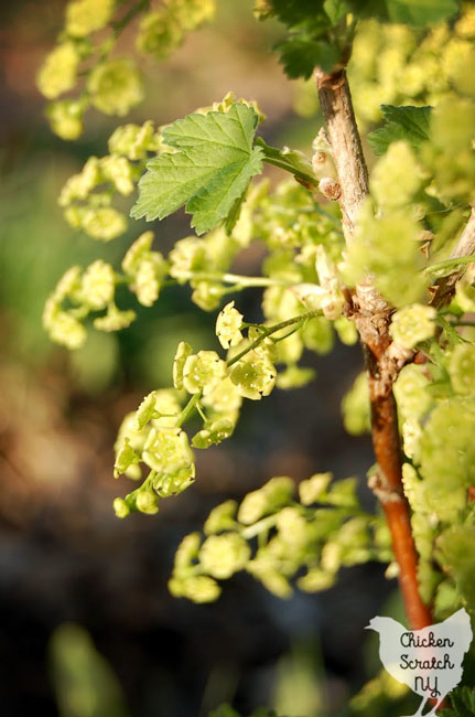 red currant flower