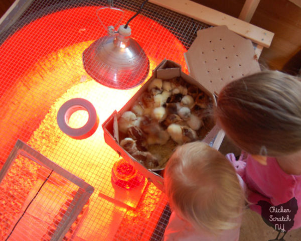 chicks in a box before being moved into a brooder