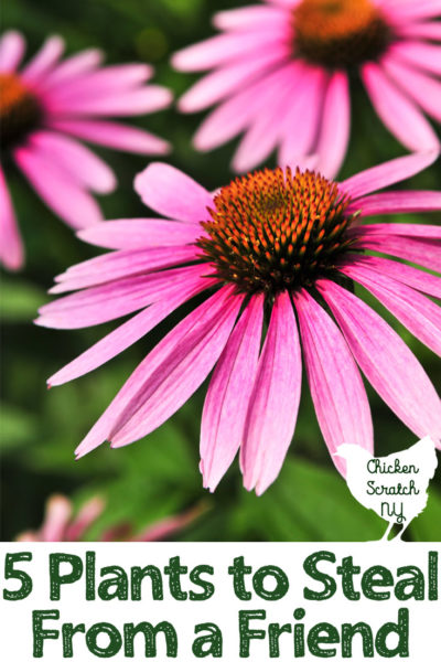 purple coneflower with text overlay for dividing perennials