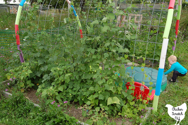 garden bed with pole beans and ground cherries in front of cattle panel arch covering turtle sandbox with little girl