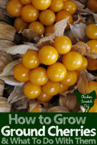 pile of ground cherries with husks