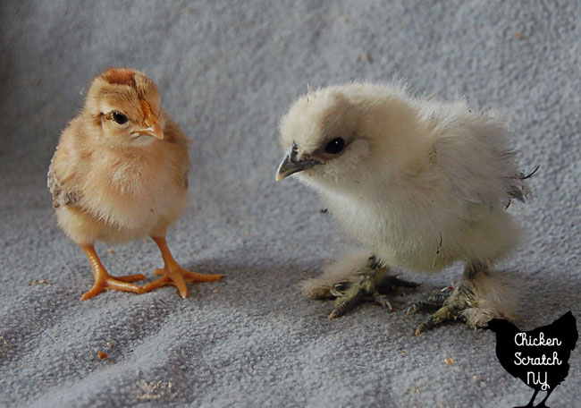 2 week old mixed breed chick with 3 week old splash Silkie chick