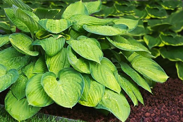 hosta plant