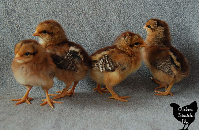 Speckled Sussex and Welsummer chicks