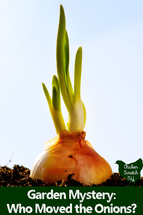 onion plant in soil