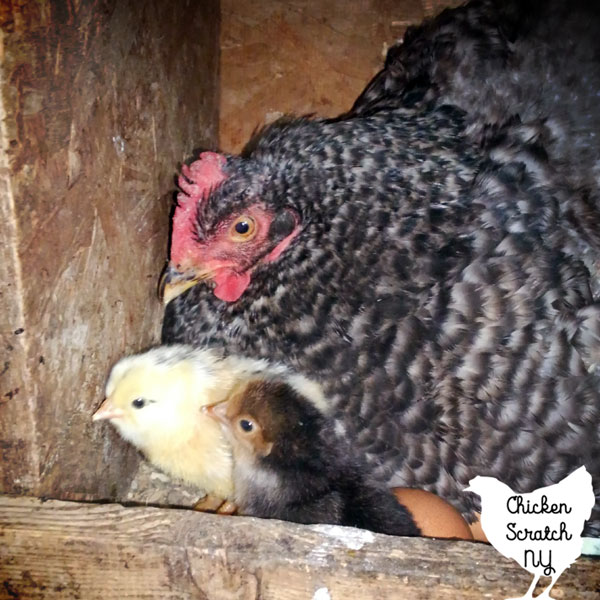 hen in a nest box with two chick and an egg
