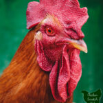 large up close image of a rooster with text overlay When Good Birds Go Bad The Dark Side of Chicken Keeping