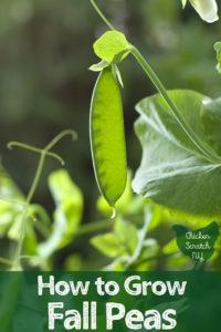 large green snow pea
