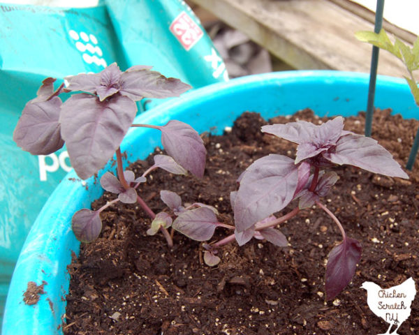 purple basil in a blue pot