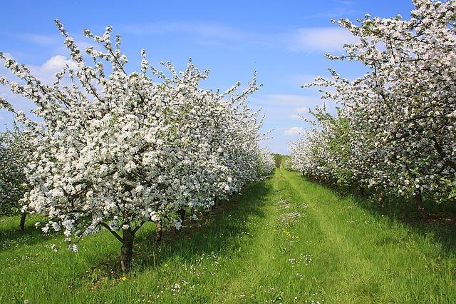 row of blooming apple trees