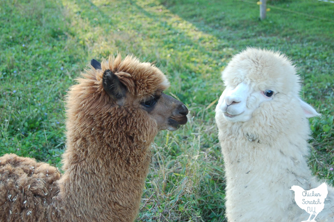 brown alpaca looking at happy white alpaca