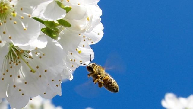 honey bee fling to apple blossom