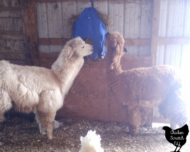 bown alpaca and white alpaca eating hay out of blue hay bag