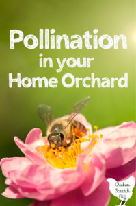 honey bee in an apple blossom with text overlay Pollination in your Home Orchard