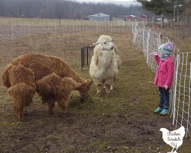 little gorl in pink coat showing borwn alpaca and white alpaca a toy plane