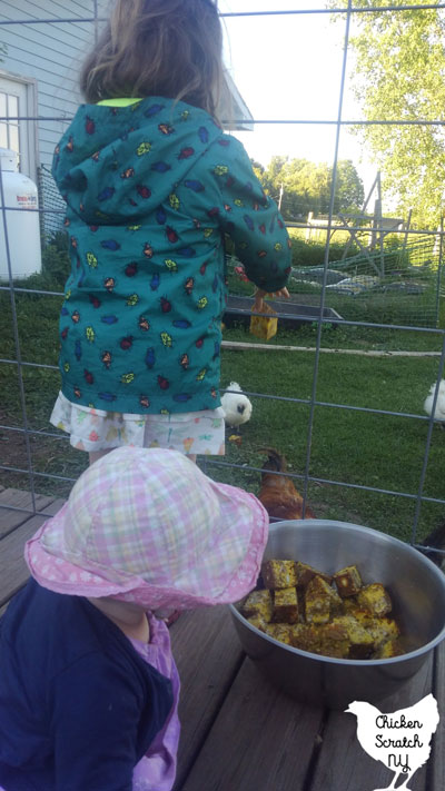 feeding chickens a high protein snack