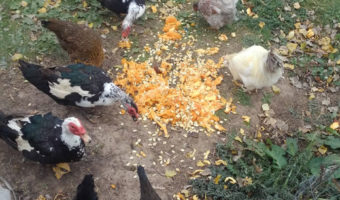 chickens and ducks eating pumpkin guts and seeds