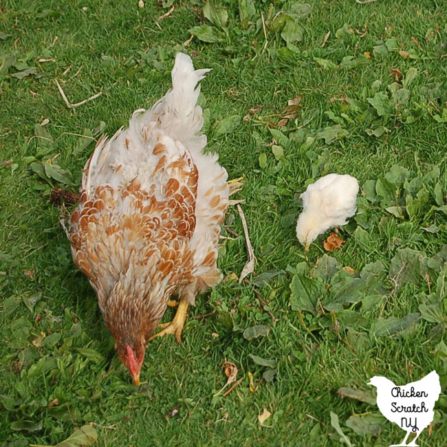 mother hen beginning to molt with a chick