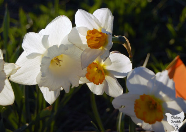 large cup white daffodil with smaller white and orange small cup daffodils