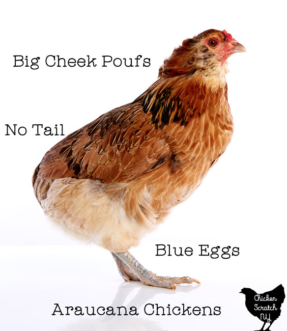 Araucana chicken against a white back ground with blue eggs, cheek poufs and not tail text overlay