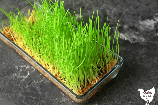 glass baking dish filled with growing grass