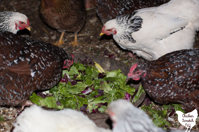 chickens eating salad greens out of a large bowl