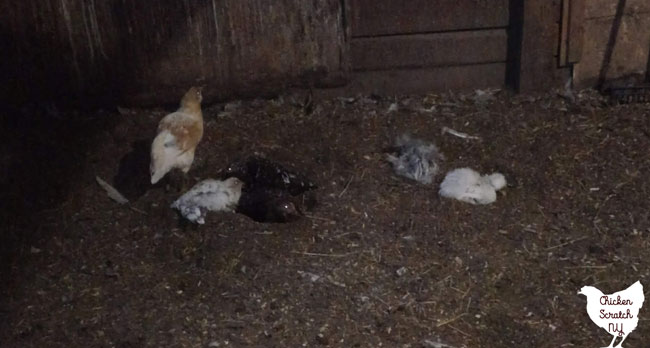 chickens laying in the dirt dust bathing