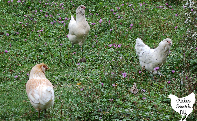 three young Easter egger pullets in a green spring field