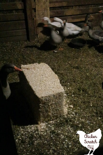 block of wood shavings in a dark chicken coop surrounded by geese