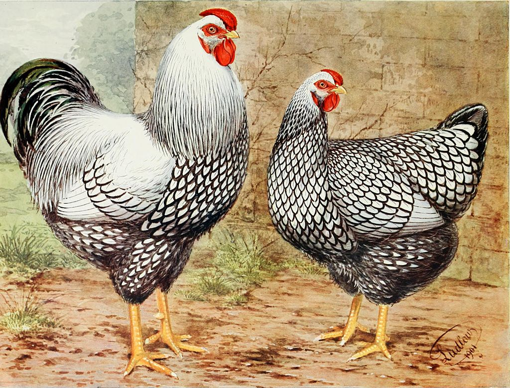 silver laced wyandotte rooster and hen drawing