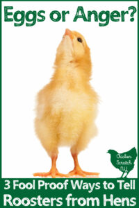 chick looking up at test Eggs or anger? 3 fool proof ways to tell roosters from hens