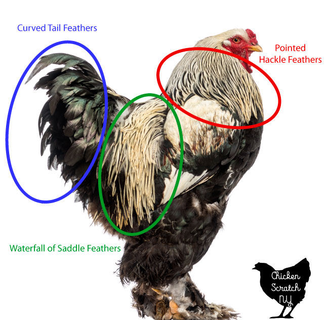 rooster with secondary sex characteristics highlighted