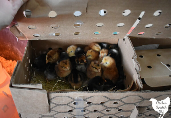 box of chicks after delivery