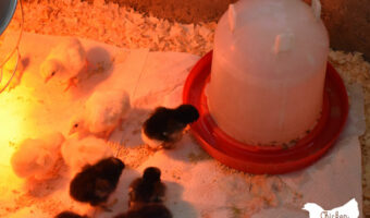 days old chick drinking water
