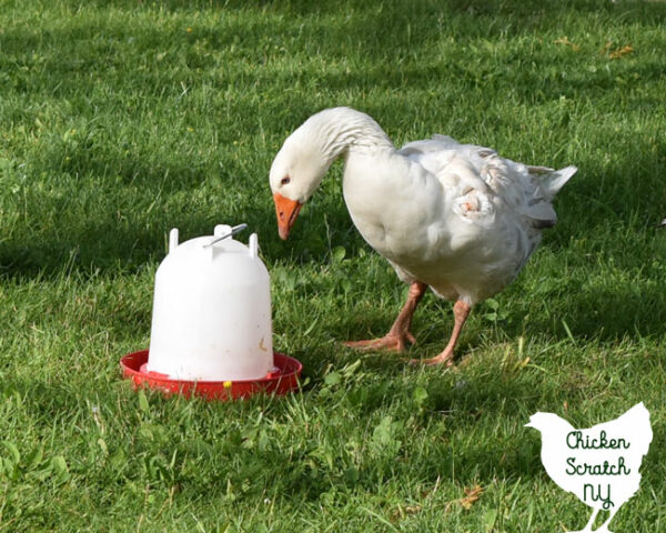 white male pilgrim goose standing next to a 5 quart chicken waterer