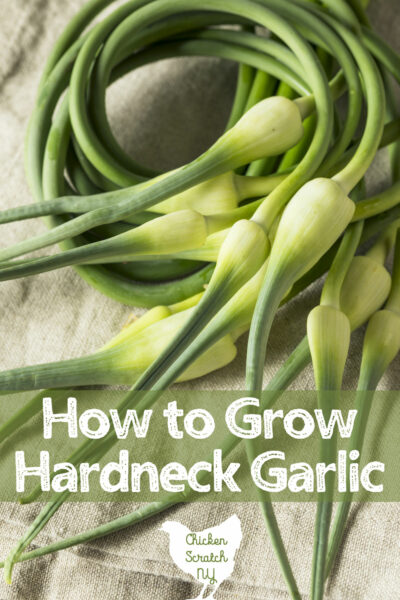 garlic scapes on a table, how to grow hardneck garlic
