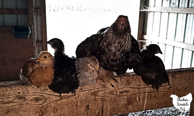 bantam EE chicken with six young chicks that are almost her size on a roost