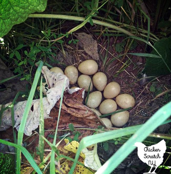 guinea fowl nest hidden in burdocks in the garden