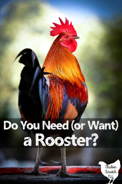 rooster standing looking back over his shoulder over his shoulder with text overlay do you need or want a rooster