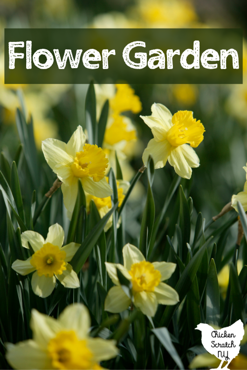 field of daffodils with text overlay Flower Garden