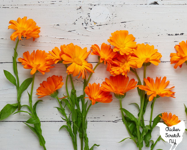 calendula or pot marigold flowers on a white distressed surface