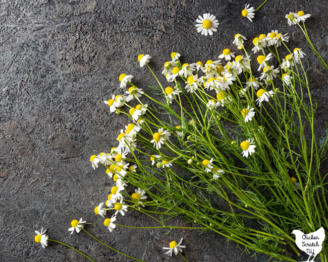 German chamomile flowers and stems on a slate surface